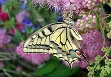 злаковик цветков бабочки после полудня поздно естественный machaon бабочки на цветя луге конец вверх Стоковое Фото