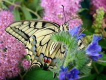 злаковик цветков бабочки после полудня поздно естественный machaon бабочки на цветя луге конец вверх Стоковая Фотография RF