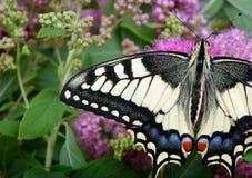 злаковик цветков бабочки после полудня поздно естественный machaon бабочки на цветя луге конец вверх Стоковые Изображения
