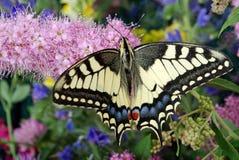 злаковик цветков бабочки после полудня поздно естественный machaon бабочки на цветя луге конец вверх Стоковые Фотографии RF