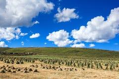 Злаковик Ruoergai, Xiahe, Gannan, Китай стоковые изображения rf
