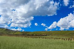 Злаковик Ruoergai, Xiahe, Gannan, Китай стоковые фотографии rf