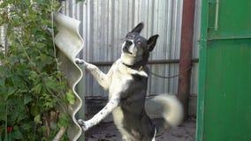 Злая собака предохранителя двора смотрит в камеру и лаяет стоять на своих задних ногах конец вверх 4K 25 fps сток-видео