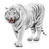 Злющий белый тигр стоковые изображения rf