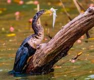 Змеешейка Spearfishing американской змеешейки Стоковые Изображения RF