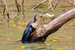 Змеешейка Spearfishing американской змеешейки Стоковые Фотографии RF