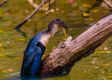 Змеешейка Spearfishing американской змеешейки Стоковые Изображения