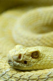 змейка альбиноса Стоковое Изображение RF