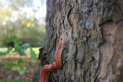 Змейка альбиноса - змейка травы - Ringelnatter на дереве Стоковая Фотография