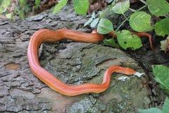 Змейка альбиноса - змейка травы - Ringelnatter на дереве Стоковые Фотографии RF