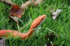 Змейка альбиноса - змейка травы - Ringelnatter на траве Стоковая Фотография