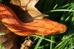 Змейка альбиноса - змейка травы - Ringelnatter на траве Стоковое Фото