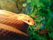 Змейка альбиноса/змейка травы - Ringelnatter Стоковая Фотография