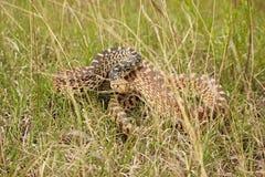 Змейка быка в траве подготавливает поразить Стоковые Изображения