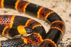 Змейка восточного коралла Стоковая Фотография RF