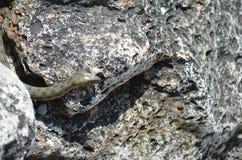 Змейка воды в Чёрном море (tessellata кости змейки, ужа) Стоковые Фото
