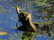 Змейка воды есть лягушку Стоковое Фото