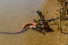 Змейка воды Стоковое Изображение RF