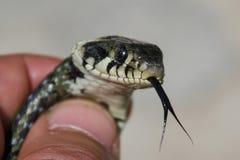 Змейка в руке с языком вне Стоковые Фото