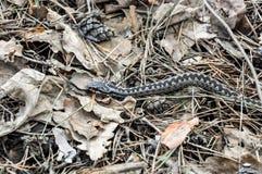 Змейка в сухой траве стоковое изображение rf