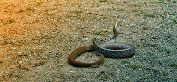 Змейка в Таиланде Стоковая Фотография RF