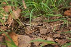 Змейка в траве, змейка горжетки constrictor горжетки на ветви дерева Стоковое Изображение RF