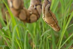 Змейка в траве, змейка горжетки constrictor горжетки на ветви дерева Стоковое Фото