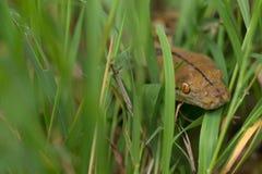 Змейка в траве, змейка горжетки constrictor горжетки на ветви дерева Стоковое фото RF