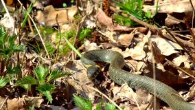 Змейка в траве видеоматериал