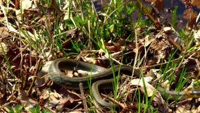 Змейка в траве сток-видео