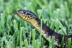 Змейка в траве Стоковая Фотография RF