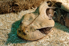 Змейка в terrarium - гадюка Gaboon Стоковые Фото
