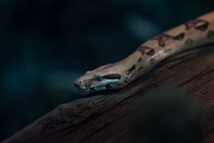 Змейка в terrarium Стоковая Фотография RF