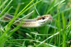 змейка гада Стоковые Изображения