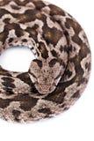Змейка гадюки Стоковое Изображение