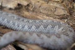 Змейка гадюки, latastei гадюки Стоковые Фотографии RF