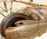 Змейка, горжетка Мадагаскара Стоковая Фотография