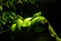 змейка горжетки зеленая Стоковая Фотография