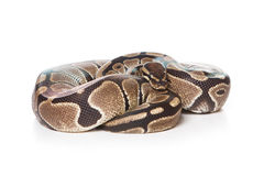 змейка горжетки Стоковое Фото