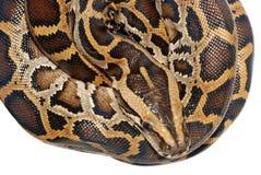 змейка горжетки Стоковые Фотографии RF