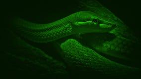 Змейка дерева Nightvision смотрит вокруг