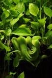 змейка джунглей Стоковое фото RF