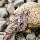 Змейка есть лягушку, головную съемку Стоковые Фото