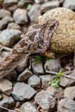 Змейка есть лягушку, головную съемку Стоковое фото RF