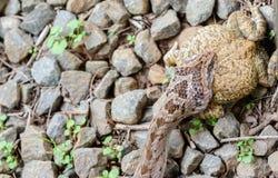 Змейка есть лягушку, головную съемку Стоковые Изображения
