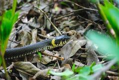 Змейка ждать в листве на резервуаре стоковые фотографии rf