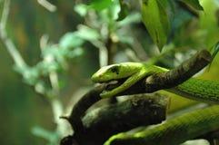 Змейка, зеленая мамба Стоковые Изображения