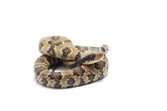 Змейка изолированная на белизне Стоковые Фотографии RF