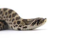 Змейка изолированная на белизне Стоковое Фото