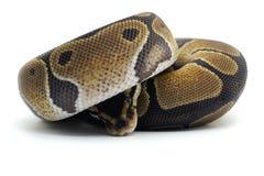 Змейка изолированная на белизне Стоковое Изображение
